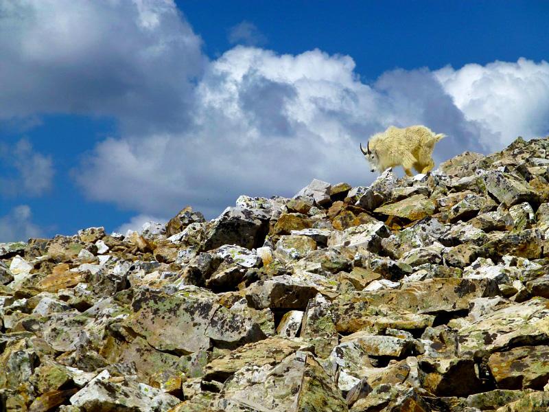 Rocky Mountain Black Metal Goat
