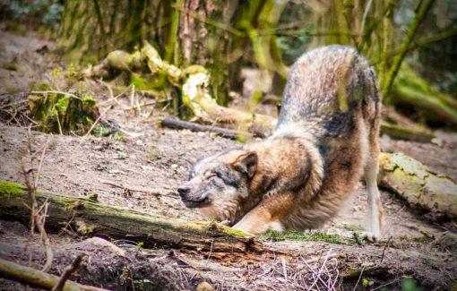 Spende Wolfsschutz